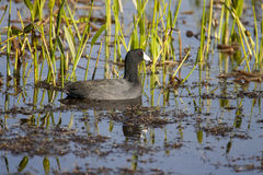 American coot swimming in pond among grasses, reeds and other aq Royalty Free Stock Images