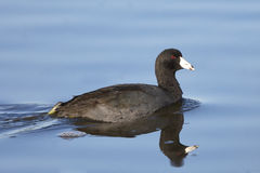American Coot Swimming with Reflection Royalty Free Stock Photo