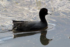 American Coot in water. Stock Images