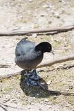 Mudhen or american coot. An american coot trying to look for a food Stock Image