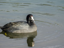 American coot on Vasona Lake Stock Photo