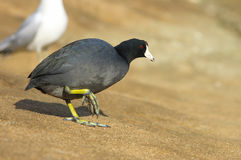 The American Coot walking on a shore Stock Photo