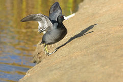 The American Coot walking on a shore Stock Images