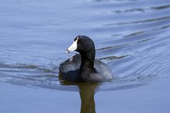 American Coot water bird, Walton County, GA. An American Coot, Fulica americana, swimming on blue water pond. This individual arrived in January 2018 and Royalty Free Stock Image