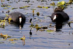 American Coots - Fulica americana Royalty Free Stock Photo