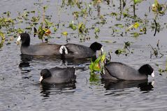 American Coots - Fulica americana Royalty Free Stock Photos