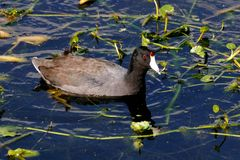 American Coots - Fulica americana Stock Images