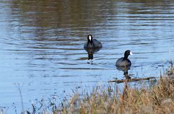 American coots in a pond stock photography