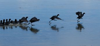 American Coots taking off from icy lake Stock Image