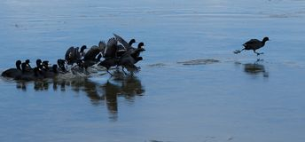 American Coots taking off from icy lake Royalty Free Stock Photo