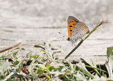 American Copper Butterfly Stock Images