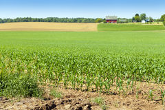 American Corn Field Royalty Free Stock Photos