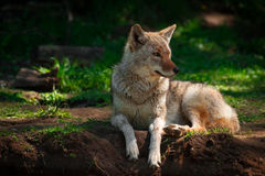 American Coyote Lying Down Close Up Stock Image