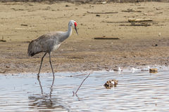 American crane in the water. Big gray bird with red head American crane on the Birnaby lake Canada Royalty Free Stock Photography