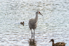American crane in the water. Big gray bird with red head American crane on the Birnaby lake Canada Royalty Free Stock Photos