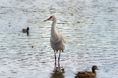 American crane in the water. Big gray bird with red head American crane on the Birnaby lake Canada Royalty Free Stock Photo