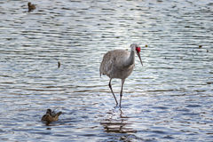 American crane in the water. Big gray bird with red head American crane on the Birnaby lake Canada Stock Photo