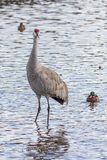 American crane in the water. Big gray bird with red head American crane on the Birnaby lake Canada Royalty Free Stock Image