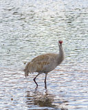 American crane in the water. Big gray bird with red head American crane on the Birnaby lake Canada Stock Photos