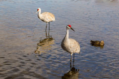 American crane in the water. Big gray bird with red head American crane on the Birnaby lake Canada Royalty Free Stock Images