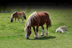 American Cream. Family of horses Royalty Free Stock Photos