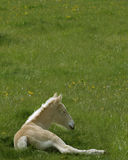 American Cream Colt. Baby draft horse Royalty Free Stock Photography