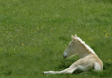 American Cream colt II. American Cream draft horse colt Royalty Free Stock Image