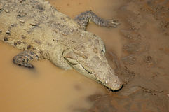 American Crocodile. S in river (aerial view stock photo