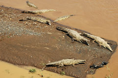 American Crocodile. Seven American Crocodiles in river and on sandbar (aerial view stock images