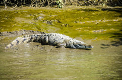 AMERICAN CROCODILE Royalty Free Stock Photos