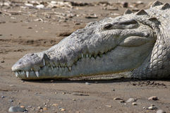 American Crocodile on the beach. An American Crocodile suns itself and shows its teeth on a river bank in Costa Rica Stock Photos