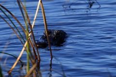 American crocodile coming to investigate us Royalty Free Stock Photos