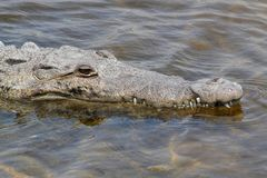 American crocodile (Crocodylus acutus) Basking in The Sun 免版税库存照片