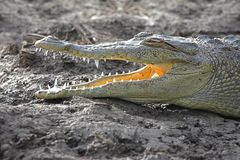 American crocodile (Crocodylus acutus) Basking in The Sun Royalty Free Stock Image