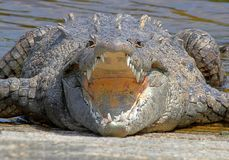 American crocodile (Crocodylus acutus) Basking in The Sun Stock Image