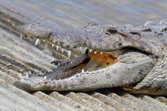 American crocodile (Crocodylus acutus) Basking in The Sun Stock Image