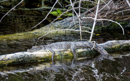 American crocodile. The American crocodile (Crocodylus acutus) is a species of crocodilian found in Florida. In the image is a baby crocodile resting on a Royalty Free Stock Photography