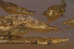 American crocodile, Crocodylus acutus, three animals in the river water. Wildlife scene from nature. Crocodiles from river Tarcole Royalty Free Stock Image