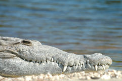 American Crocodile Royalty Free Stock Image