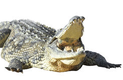 American crocodile Royalty Free Stock Photography