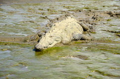 American crocodile lying in the mud Stock Photos