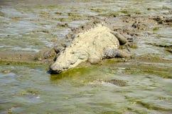 American crocodile lying in the mud Stock Photos