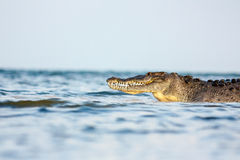 American crocodile Stock Images
