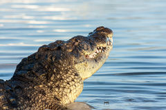 American crocodile Royalty Free Stock Images