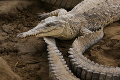 American crocodile Stock Photography