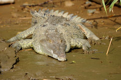 American crocodile on river bank, costa rica, cen Stock Photography