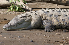 American Crocodile sunning on the beach Royalty Free Stock Photo