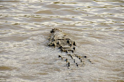 AMERICAN CROCODILE SWIM Stock Images