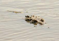 AMERICAN CROCODILE SWIM IN RIVER Stock Photo
