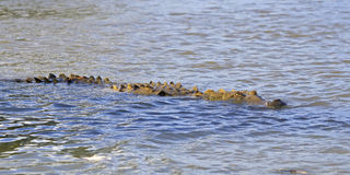 American Crocodile Swimming Stock Image